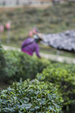 De-focus picture of harvesters working in tea field. De-focus picture of harvesters working in tea field, foreground is tea plant royalty free stock photo