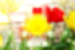 De focused Colorful spring tulip flower background Stock Photography