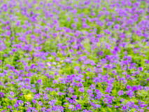 De-Fokus der purpurroten Blume im Garten Stockfotografie