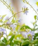 De-Fokus der purpurroten Blume im Garten Lizenzfreie Stockbilder