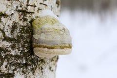 De Fomitopsis de betulina le betulinus de Piptoporus précédemment, généralement connu sous le nom de polypore de bouleau, parenth photos libres de droits