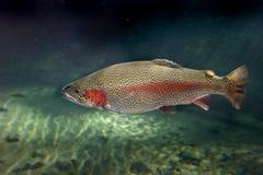De Forel van de regenboog stock afbeelding