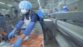 De forelfilets van uitstekende kwaliteit worden gezet op de vervoerder Vissenfabriek stock videobeelden