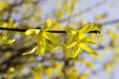 De Forsythia van de de lentestruik in bloei stock fotografie