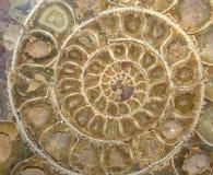 De Fossiele Dwarsdoorsnede van de ammoniet Royalty-vrije Stock Foto
