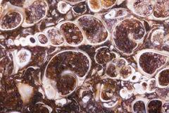 De fossiele plak van het turritellaagaat Stock Foto's