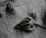 De fossielen van Crinoid Stock Afbeelding
