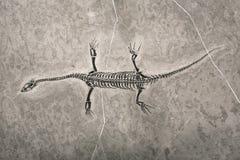 De fossielen van de dinosaurus Royalty-vrije Stock Afbeelding