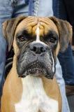 De Foto's van honden - Bokser Stock Fotografie