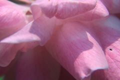De foto schildert een kleurrijk macrobeeld af, nam het Zachte nadruk vage bloemblaadje van roze voor achtergrond toe stock afbeelding