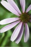 De foto van de Echinaceabloem Stock Afbeeldingen