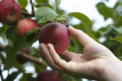 De foto van de voorraad van het met de hand plukken een appel Royalty-vrije Stock Afbeeldingen