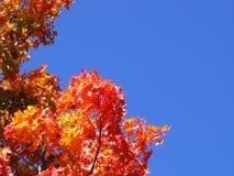 De foto van esdoorn verlaat boomesdoorn gele rode sinaasappel tegen een blauwe hemel de bladeren worden gevestigd onder en aan de royalty-vrije stock foto