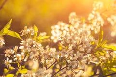 De foto van mooie kersenbloesem, vat natuurlijke achtergrond, fijne kunst, het seizoen van de de lentetijd samen, appel die in zo stock foto