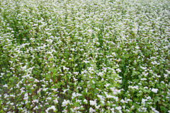 De foto van wit bloeiend boekweitgebied, sluit omhoog stock fotografie