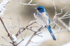 De fotografie van de de wintervogel - blauwe vogel op sneeuw behandelde struikboom royalty-vrije stock afbeeldingen