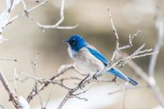 De fotografie van de de wintervogel - blauwe vogel op sneeuw behandelde struikboom stock afbeelding