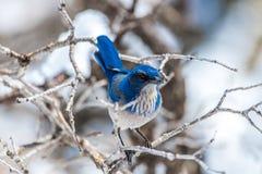 De fotografie van de de wintervogel - blauwe vogel op sneeuw behandelde struikboom stock fotografie
