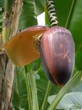 De fotografie van het detail van grote banaanbloei stock fotografie