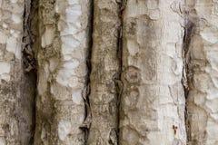 De fototextuur van de boomboomstam Natuurlijke houten achtergrond Bleek hout met doorstane schors Langzaam verdwenen houten achte stock afbeeldingen