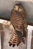 De fototextuur van de valkvogel Royalty-vrije Stock Afbeeldingen