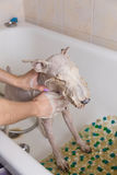 De Fox-terrier die een douche met zeep en water nemen Stock Afbeelding