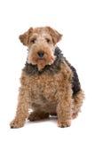 De Fox-terrier van de draad stock foto's