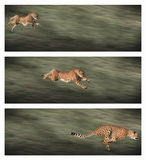 De frames van de jachtluipaard Royalty-vrije Stock Foto's