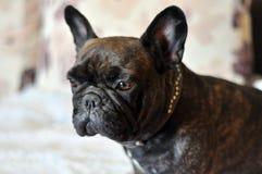 De Franse Buldog is een hond, beste vriend stock foto