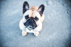 De Franse buldog is een leuke hond royalty-vrije stock afbeeldingen