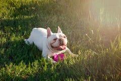 De Franse buldog met smileygezichten bepaalt op gras Gelukkige hond po Stock Afbeelding