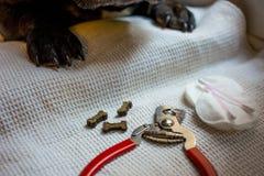 De Franse buldog is op de lijst, klaar voor spijker het knippen dierlijke zorg, het concept van de hondmanicure stock foto