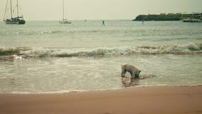 De Franse buldog speelt op strand stock footage