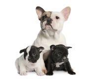 De Franse Buldog van de moeder en haar puppy (1 éénjarige Royalty-vrije Stock Afbeeldingen