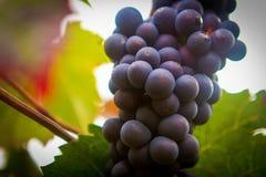 De Franse Cluster van de Wijngaarddruif Royalty-vrije Stock Afbeelding