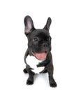 De Franse Hond van de Stier Stock Foto