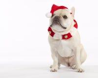 De Franse Kerstman van de Buldog Stock Afbeelding
