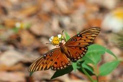 De fritillary Golf of hartstochtsvlinder (Agraulis-vanillae) Stock Fotografie