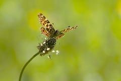 De frontale mening van de Kaartvlinder stock fotografie