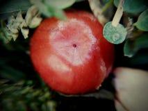 De fruitschoonheid in rood en groen ziet eruit Stock Afbeeldingen