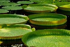 De géant garnitures lilly Photo stock