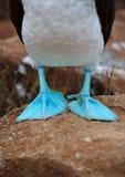 De Galapagos blauw-betaalde domoor Stock Foto