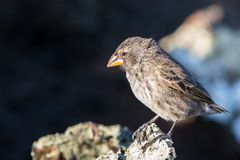De Galapagos Darwin Finch stock afbeelding