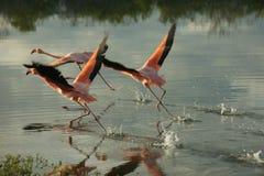 De Galapagos Flamingoes in Santa Cruz Islands Stock Afbeeldingen