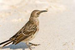 De Galapagos Hood Mockingbird royalty-vrije stock foto