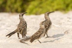 De Galapagos Hood Mockingbird stock foto