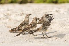 De Galapagos Hood Mockingbird royalty-vrije stock foto's