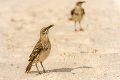 De Galapagos Hood Mockingbird royalty-vrije stock afbeeldingen