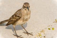De Galapagos Hood Mockingbird royalty-vrije stock fotografie