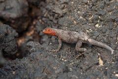 De Galapagos Lava Lizard, Wijfje Stock Foto's